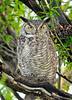 Owl Great Horned 1008