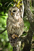 Barred Owl 3535