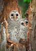 Barred Owl Chicks 1158