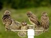 Borrowing Owls  6178