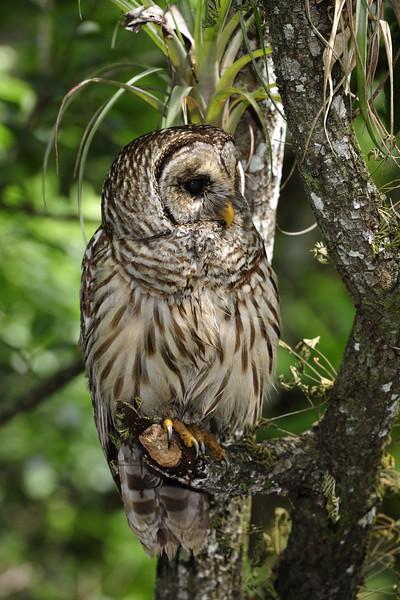 Barred Owl 3536