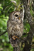 Barred Owl 3536