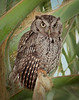 Sreech Owl 9257