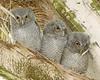 Screech Owl Babies 1428
