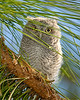 Screech Owl baby1144