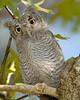 Screech owl baby 689
