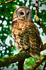 Barred Owl 1462