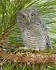 Screech Owl baby1246