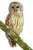 Barred Owl 3579 2