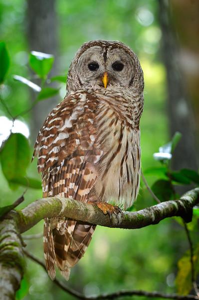Barred Owl 609