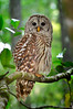 Barred Owl 609