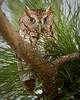 Screech Owl 1560