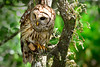Barred Owl 3546