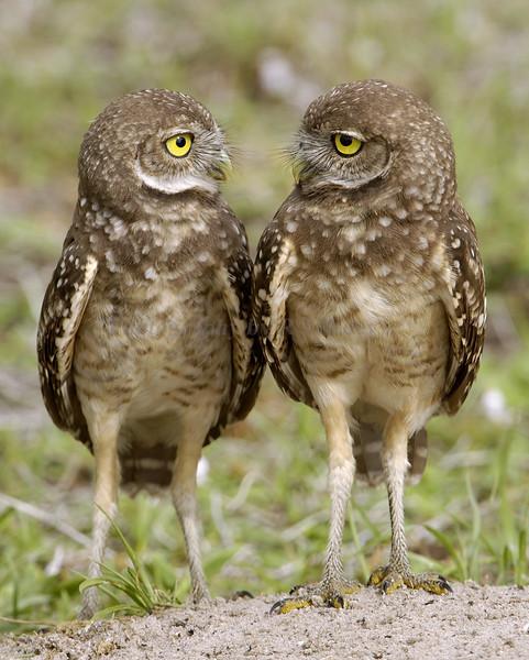 Borrowing Owl 6579