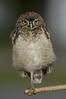 Borrowing Owl 6339