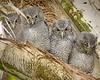 Screech owl babies 1431