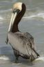 Pelican 0907