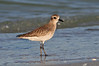 Plover Blk Bellied 9145