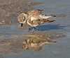 Plover Piping2870