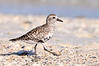 Plover Blk bellied 7520
