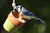 Blue Jay 454