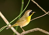 Common yellow throat 6230