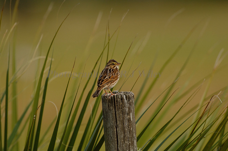 Savannah Sparrow 3787