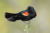 Red-wing Blk Bird 8519