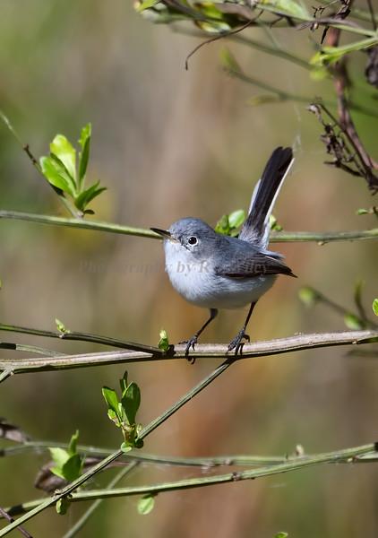 Bluegray gnatcatcher 7102