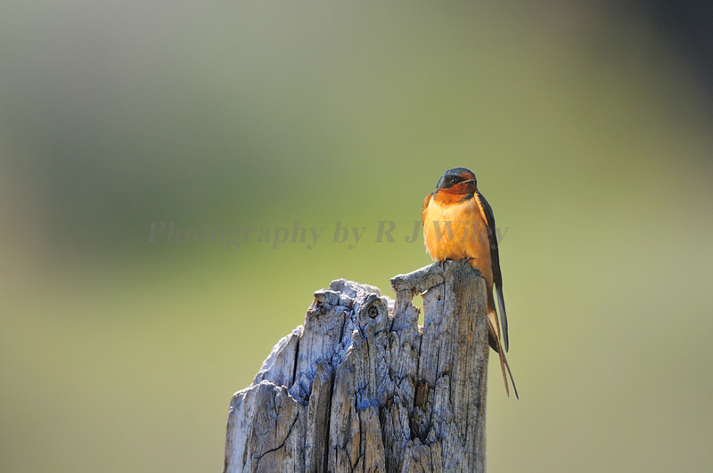 Barn Swallow1049 a