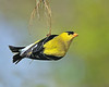Gold finch 1597 II