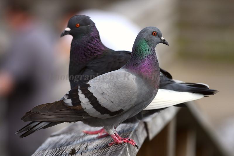 Pigeons 9888