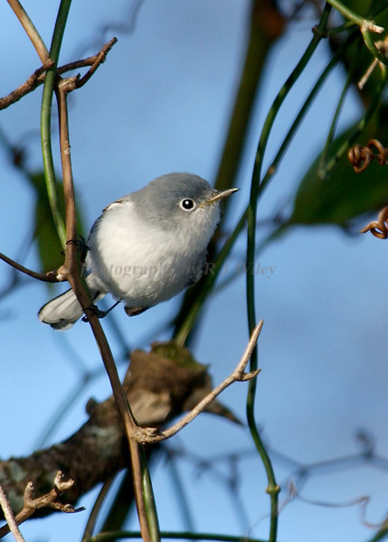 Blue Gray natcatcher 6383