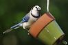 Blue Jay 430