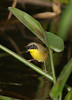 CommonYellowthroat 2637