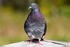 Pigeons 9901