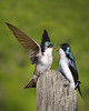 Tree Swallow 2049