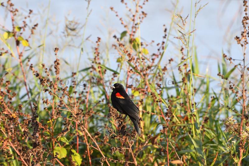 Blk bird red wing 577