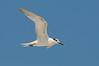 Tern Sanwich 4944