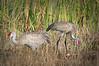 Sandhill cranes9116