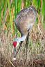 Sandhill cranes9133