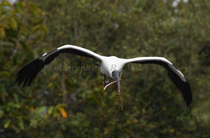 Wood Stork 369