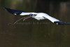 Wood Storks 3179