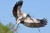 Wood Stork 4101