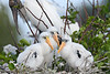 Wood Storks 4326