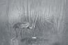 Sandhill crane foggy morn 5022