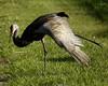 Sandhill Cranes 5282