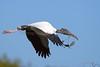 Wood Storks 3655