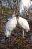 Wood Storks 1938