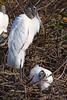 Wood Storks 1934